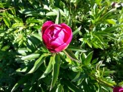 Peony - Renee's Oakland Garden
