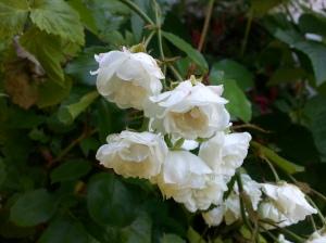 Miniture White Roses