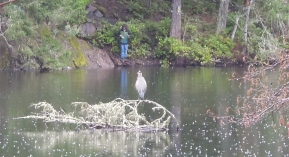 Blue Heron @ Thetis Lake