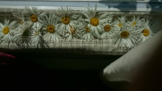 Drying Daisies in the sun