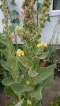 Mullein Plant