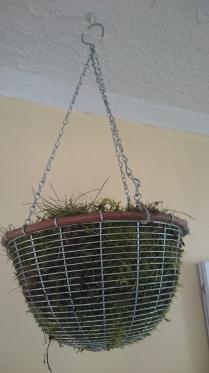 Basil Hanging Basket