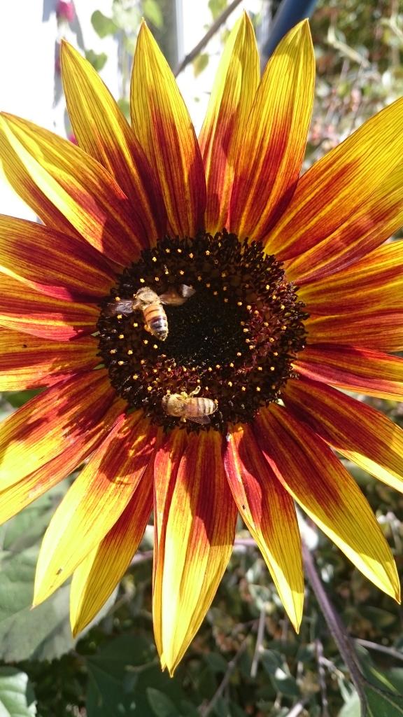 Sunflower - Renee's Oakland Garden