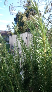 Rosemary - Renee's Garden
