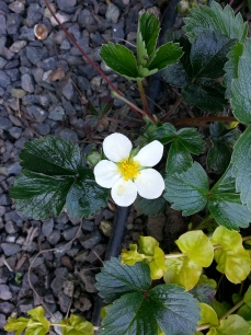 Fragaria chiloensis.jpg