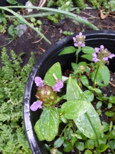 Self Heal Herbs