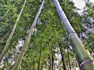 Tall Green Bamboo