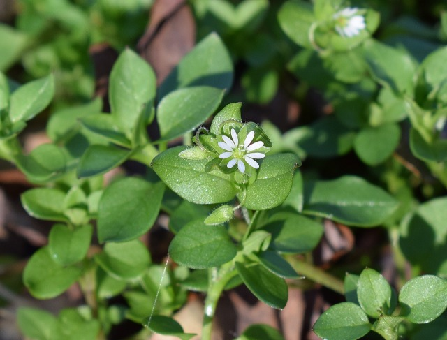 chickweed 3