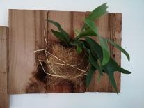 Staghorn Fern on Cedar