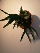 Staghorn Fern in re-purposed wooden bowl