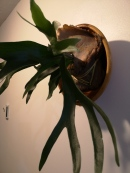 Staghorn Fern in repurposed wooden bowl