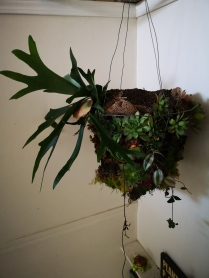 Staghorn Fern in Succulent basket