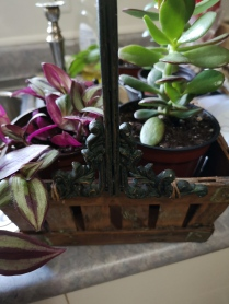 Jade & Wandering Jew Plants