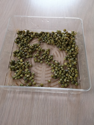 Sprouting Green Lentils